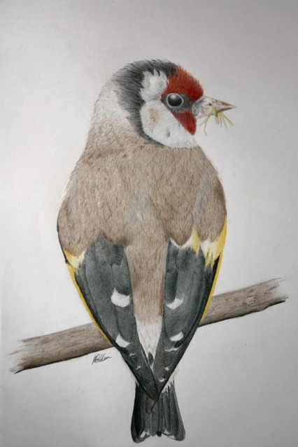 Drawing of a Goldfinch perching on branch with grass in its beak